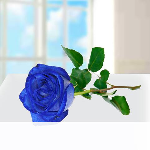 Blaue Premiumrose