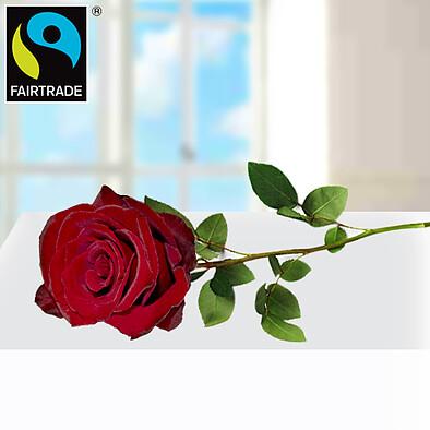 Rote FAIRTRADE Premiumrose in edler Verpackung