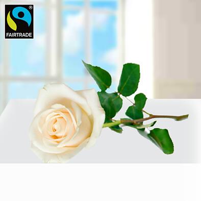 Weiße, langstielige Fairtrade Rose in edler Verpackung