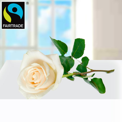 Weiße FAIRTRADE Einzelrose in edler Verpackung