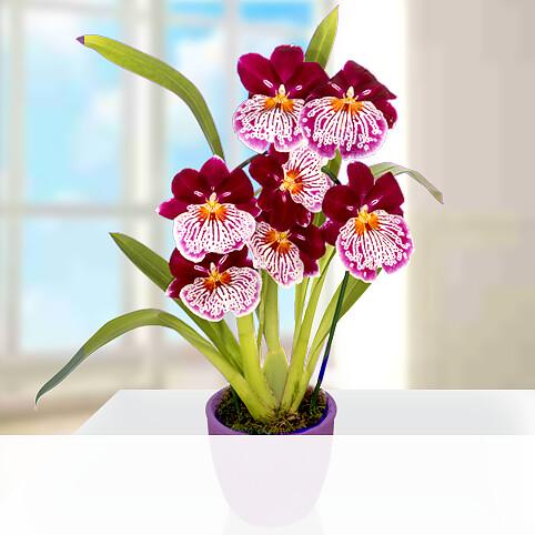 Inca Orchidee