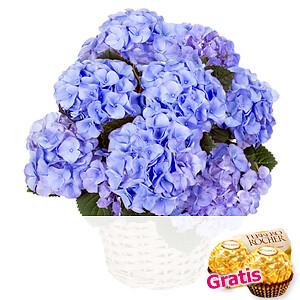 Blaue Hortensie <br>im Korb