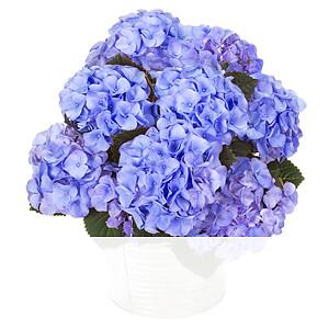 Blaue Hortensie im <br>Zinkeimer