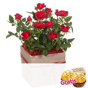 Rote Rose <br>im Topf