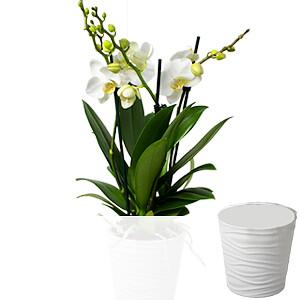 Kleine Orchidee <br>im Topf