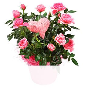 Rosa Rose <br>im Topf