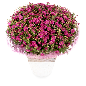 Pinke Chrysanthemen <br>im Korb