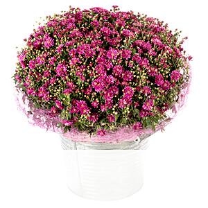 Pinke Chrysanthemen <br>im Korb