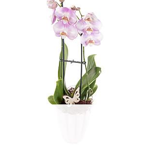 Orchidee mit <br>rosa Blüten