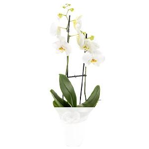 Orchidee mit weißen <br>Blüten