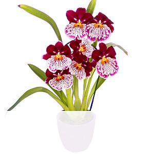 Inca Orchidee <br>im Topf