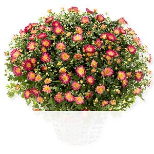 Rote Chrysanthemen <br>im Korb