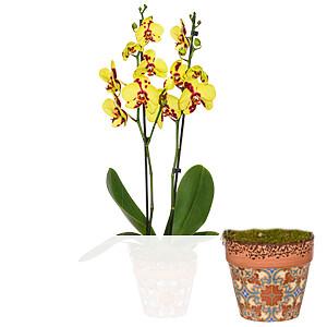 Tiger-Orchidee <br>im Topf