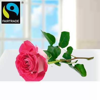 Rosa FAIRTRADE Einzelrose in edler Verpackung